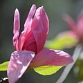 Unfolding - Star Magnolia by Maria Urso