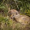 Unita Ground Squirrel by Chad Davis
