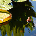 Unopened Water Lily And Reflections by Nancy Mueller