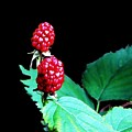 Unripe Blackberries by Kenna Westerman