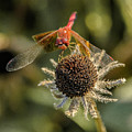 Untitled_dragonfly_flower by Paul Vitko