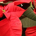 Up Close And Personal Poinsettia  by Colby Foster