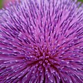Up Close On Musk Thistle Bloom by Mandy Elliott