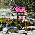 Up Close Water Lilies  by Chuck Kuhn