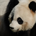 Up Close With A Gorgeous Giant Panda Bear by DejaVu Designs