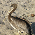 Up Close With A Pelican On A Sand Beach by DejaVu Designs