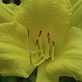 Up-close With A Very Bright Yellow Daylily Flower by DejaVu Designs
