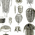 Upper Cambrian Trilobites by Wellcome Images