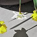 Upside Down Daffodils by Vijay Sharon Govender