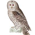 Ural Owl by Douglas Barnett