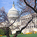 Us Capitol Building And Cherry by Panoramic Images