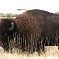 Utah Bison  by Eric  Nelson