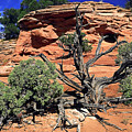 Utah Juniper And Red Rock by Sally Weigand