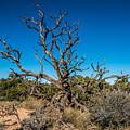 Utah Juniper by Paul Freidlund