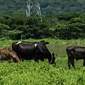 Vacas De Ahuachapan 2 by Totto Ponce