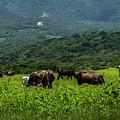 Vacas De Ahuachapan by Totto Ponce