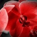 Valentine Orchid by Tracie Durard