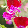 Valentine Sweet Peas by Jean Booth