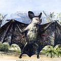 Vampire Bat by Granger