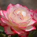 Vanilla Cherry Rose by Maria Urso