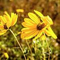 Variableleaf Sunflower by Norman Johnson