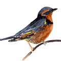 Varied Thrush - Glacier by Marsha Karle