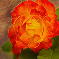 Variegated Beauty - Rose Floral by Barry Jones