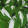 Variegated Hostas by Susan Porter