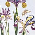 Variegated Iris by Pierre-Joseph Buchoz