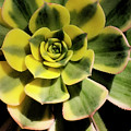 Variegated Succulent by Jim And Emily Bush