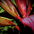 Variegated Ti Leaves by Corky Byer
