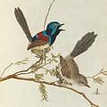 Variegated Warbler by John Lewin