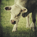 Cow by Angela Doelling AD DESIGN Photo and PhotoArt