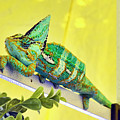 Veiled Chameleon by Eddie Yerkish
