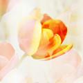 Veiled Tulip by Marilyn Hunt