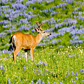 Velvet On Lupine by Mike  Dawson