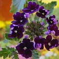 Velvet Petals by Kathy Bucari