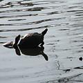 Vereen Turtles by Kelly Mezzapelle