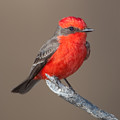 Vermilion Flycatcher by Clarence Holmes