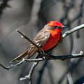 Vermilion Flycatcher by Dan McManus