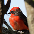 Vermilion Flycatcher by Dwight Eddington