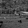 Vermont Farm With Cows Black And White by Toby McGuire