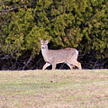 Vermont White-tailed Deer  by Neal Eslinger