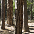 Vertical Of A Stand Of Ponderosa Pine by Rich Reid