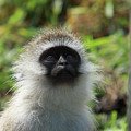 Vervet Monkey by Aidan Moran