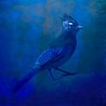 Very Blue Jay by Tom Bradley