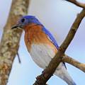 Very Bright Young Eastern Bluebird Perched On A Branch Colorful by Jeff Jarrett