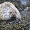 Very Chubby Harbor Seal by DejaVu Designs
