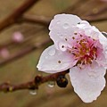 Very Early Peach Blooms by Matt Taylor