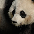 Very Fluffy Furry Face Of A Giant Panda by DejaVu Designs